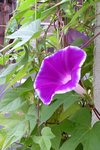 purpura  farbito