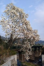 blanka magnolio
