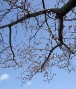 sakuro ekfloras