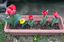 tulipoj