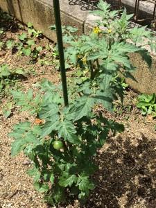 Jen aperis verda frukteto de tomato.